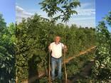 Chandler - Fernor Walnut Saplings (Tree) - фото 1