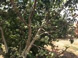 Chandler - Fernor Walnut Saplings (Tree) - фото 4