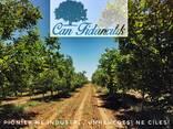 Chandler - Fernor Walnut Saplings (Tree) - фото 8