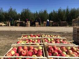 Овощи Фрукты с Казахстана - фото 2