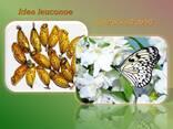 Продажа куколок тропических бабочек, коконы бабочек, ферма - фото 6